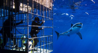 best place to cage dive with Great White Sharks